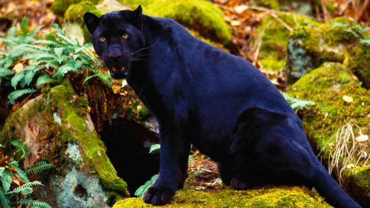 Dark Stare, Black Leopard