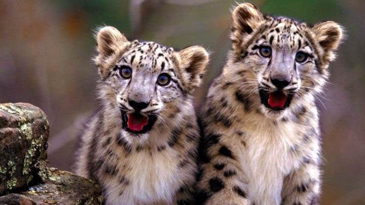 Double Trouble, Snow Leopard Cubs