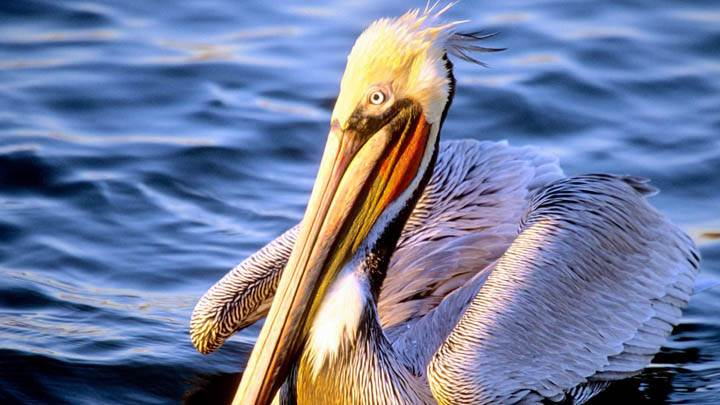 Easy Waters Pelican