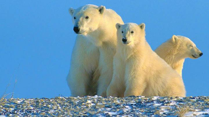 Enjoying The Morning Polar Bears Canada