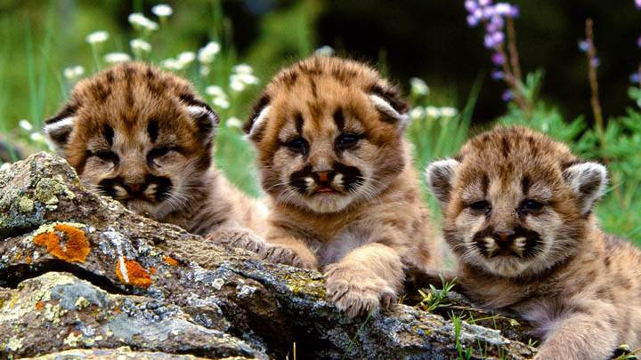 Enjoying The Show Mountain Lion Cubs Wallpaper
