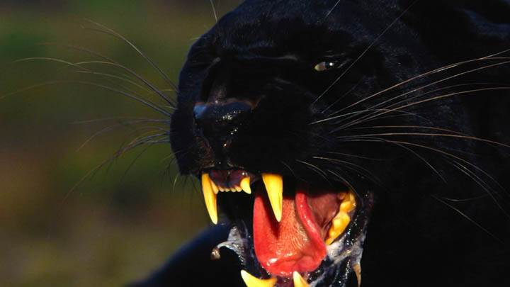Enraged, Black Leopard