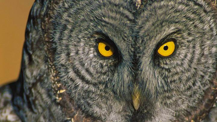 Eyes Have It, Great Grey Owl