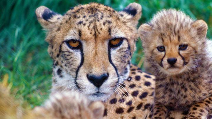 Family Close-Up, Cheetahs