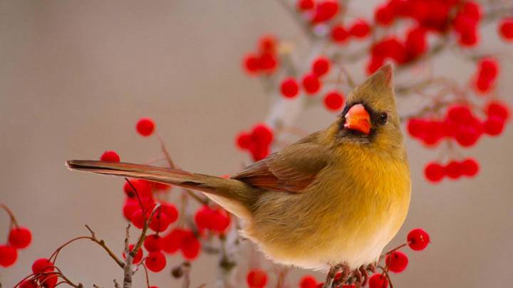 Female Northern Cardinal Among Hawthorn Berries