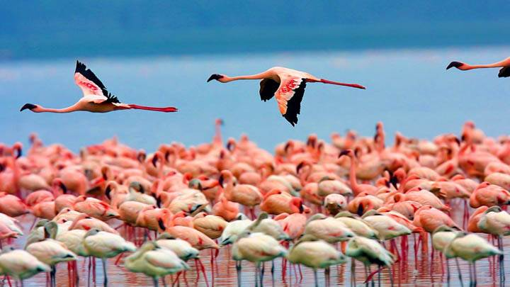 Flamingos, Lake Nakuru, Kenya