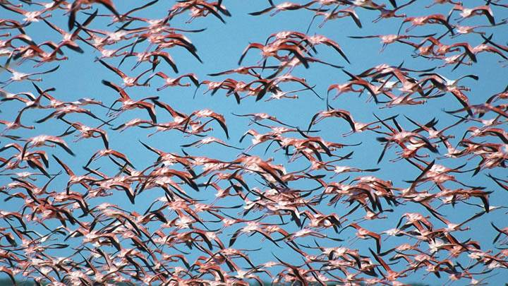 Flock of Greater Flamingos, Ria Celestun Biosphere Reserve
