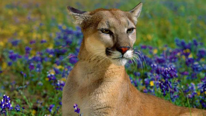 Fragrant Wildflowers, Cougar