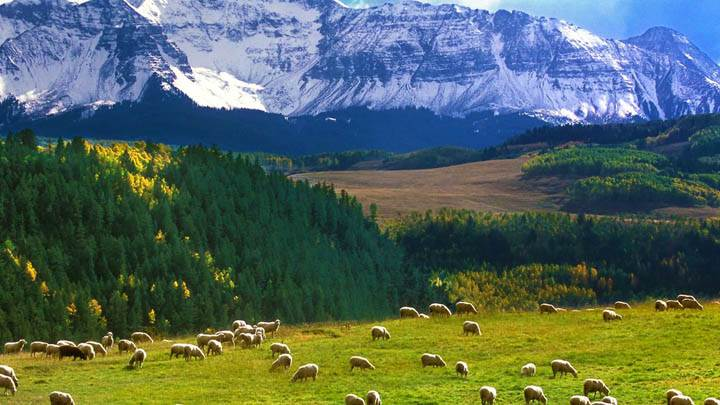 Grazing Sheep, Last Dollar Road, Colorado