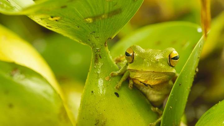 Chachi Tree Frogs