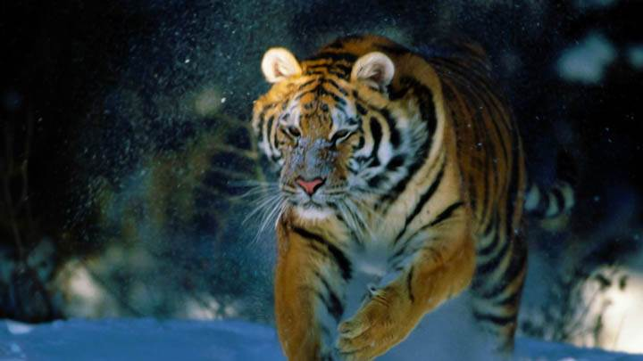 Here I Come Siberian Tiger