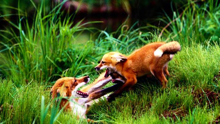 Horseplay, Red Foxes