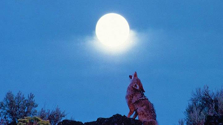 Howling Coyote at Moon