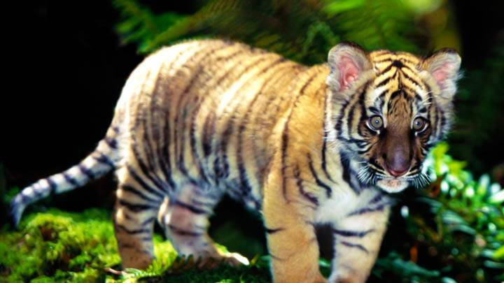 Indochinese Tiger Cub
