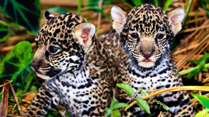 Innocence, Jaguar Cubs