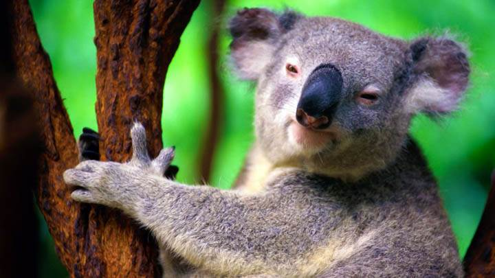 Koala Black Nose On Tree