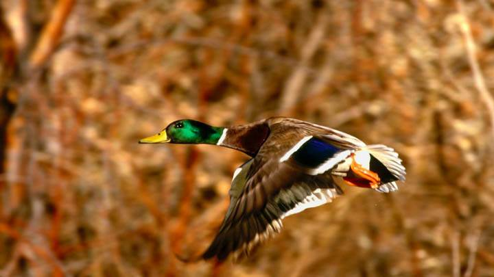 Mallard Duck Drake in Flight