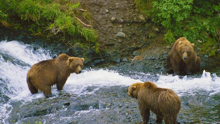 Meeting of Minds, Brown Bears, Alaska