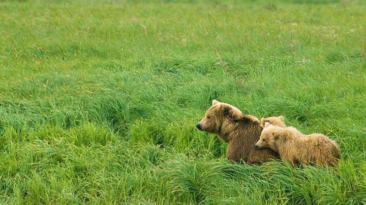Momma and Her Cubs, Brown Bears