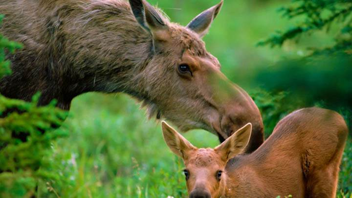 Mother Moose with Calf, Boreal Forest