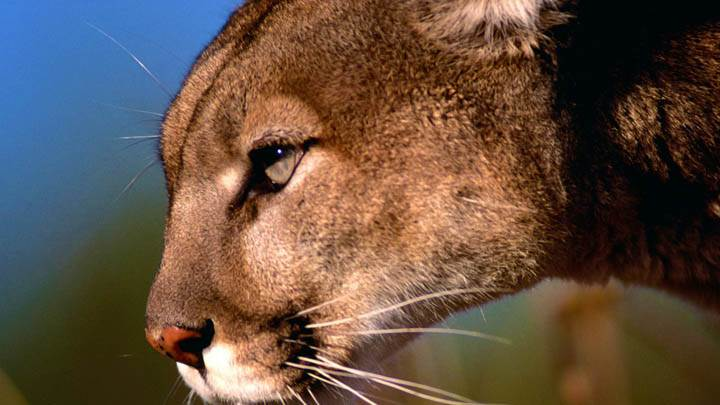 Mountain Lion, Flathead Valley