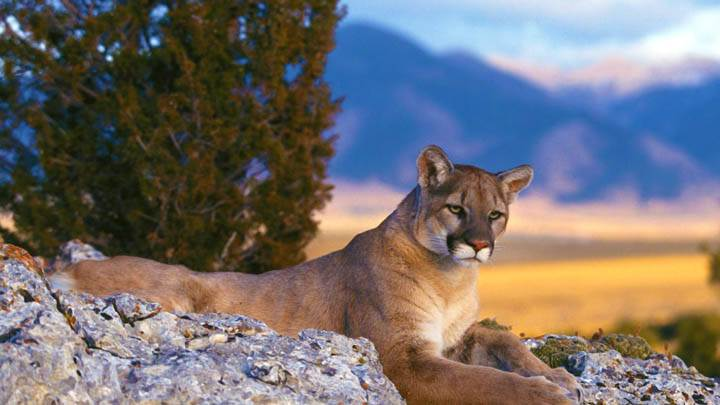 Mountain Lion, Rocky Mountains