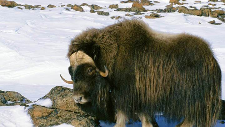 Muskox in Snow Field, Arctic National Wildlife Refuge