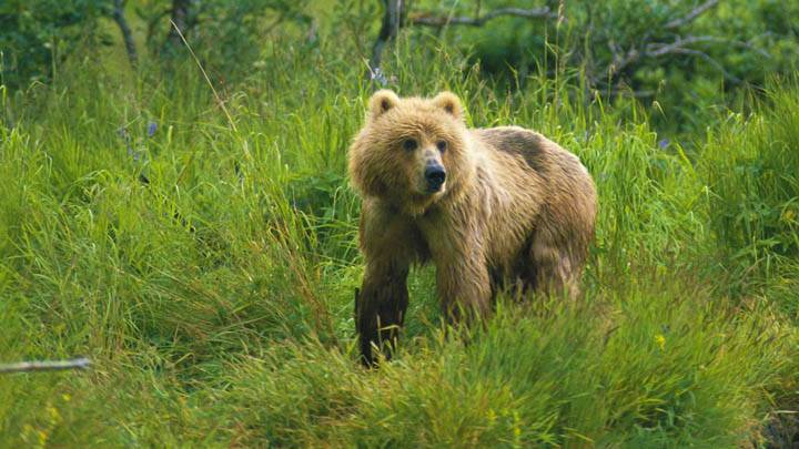 On the Watch, Brown Bear