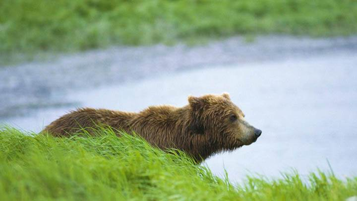 Peaceful Moment, Brown Bear