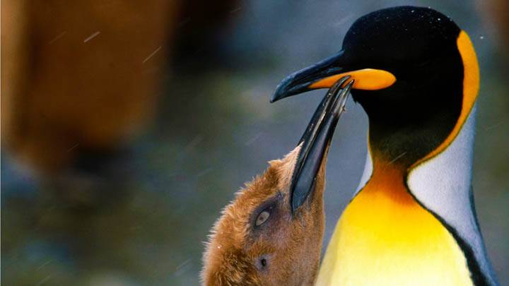 Peck on the Cheek, King Penguin