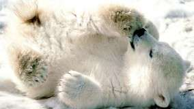 Playful Baby Polar Bear