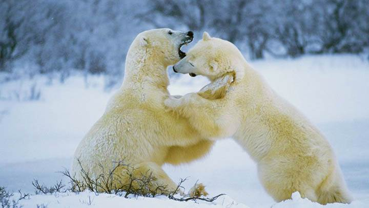 Polar Bear Romp