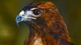 Profile of a Red-Tailed Hawk