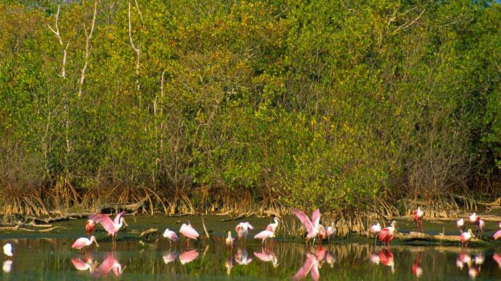 Roseate Spoonbills, Ding Darling National Refuge