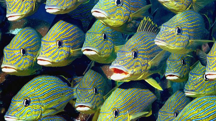 School of Bluestriped Grunt