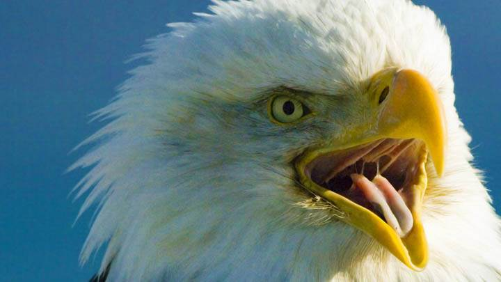 Screeching Bald Eagle