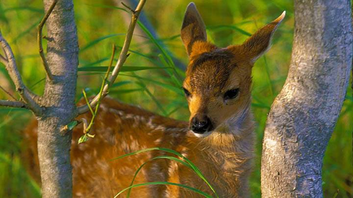 Sitka Black Tail Deer Fawn