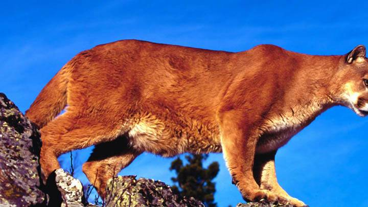 Skylined, Cougar