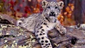 Snow Leopard Cub