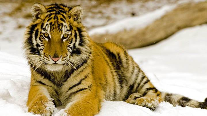 Snowy Afternoon, Tiger
