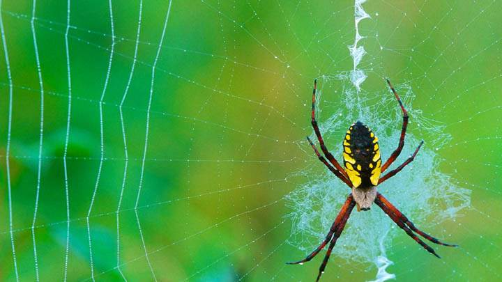 Spinning a Web, Argiope