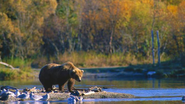 Staking His Claim, Brown Bear