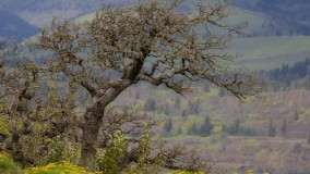 Stately Oak, Columbia River Gorge, Oregon