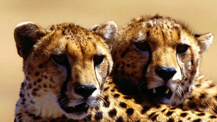 Strategic Planning, Cheetah Pair