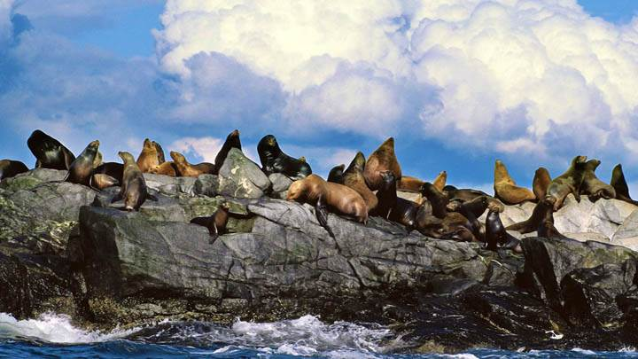 Sun Bathing, Steller Sea Lions, Alaska