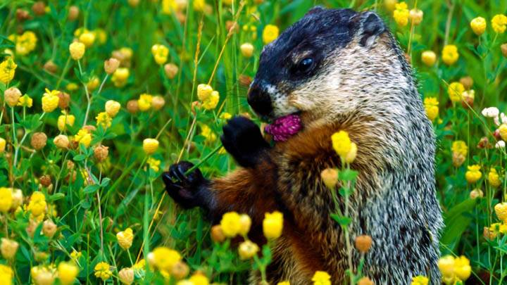 Tasty Buds, Woodchuck