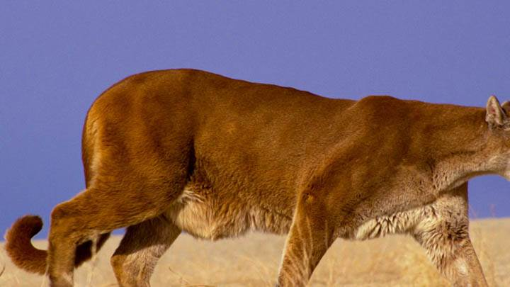 The Hunter Mountain Lion