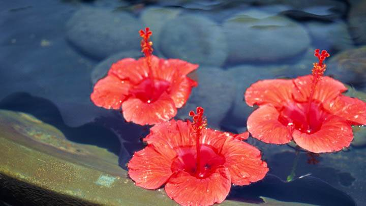 Three Orange Flowers Floating on Water