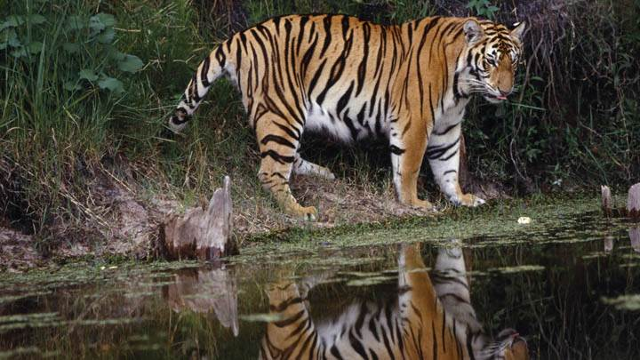 Tiger Reflected