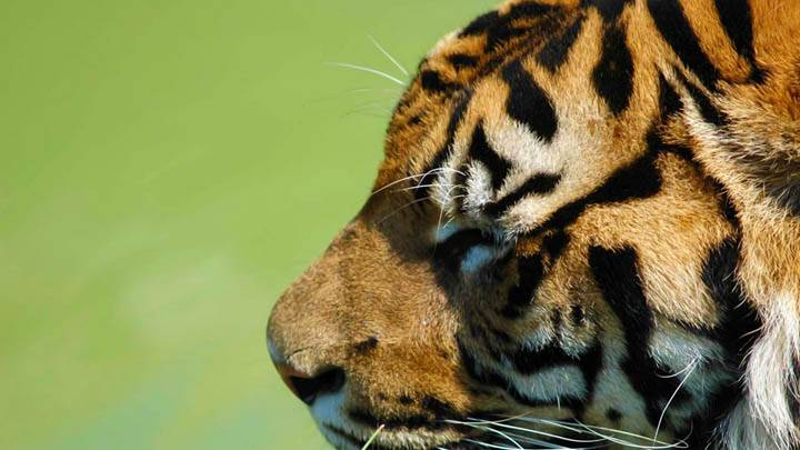 Tiger Side Face